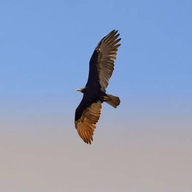 Nandansm en Hamelin: Fauna  (Iriondo), #aves21