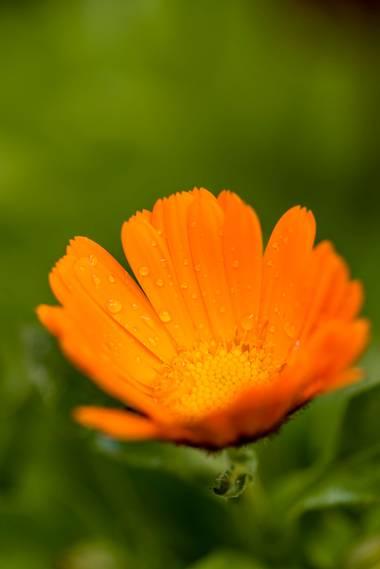 ramonportellano en Hamelin: Flora  (Jaén), Calendula officinalis, Calendula officinalis, de nombre común botón de oro, caléndula, mercadela o maravilla, es...