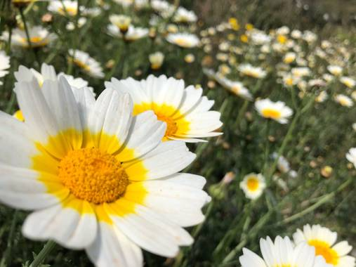 Naturalezadebarrio en Hamelin: Flora  (Calafell), Glebionis coronaria, Margaritas gigantes#naturalezadebarrio#flores#margaritas#insectosenpeligrodeextincio...