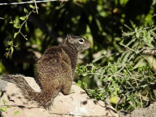 choyero40 en Hamelin: Fauna  (Comondú), Otospermophilus variegatus (Erxleben, 1777), Disfrutando la naturaleza #ardilladelasrocas #ardillonderoca #ardillad...