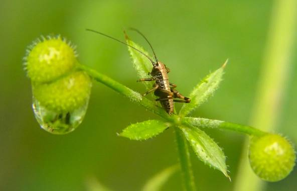 Eritz.cortazar en Hamelin: Fauna  (Bilbao), Grillo arbusto oscuro 🦗  #pholidoptera #griseoaptera #pholidopteragriseoaptera #grillo #cricket  #nature #natu...