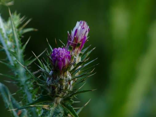 Lola.arlandi en Hamelin: Flora  (els Guiamets), Carduus pycnocephalus, #flora21