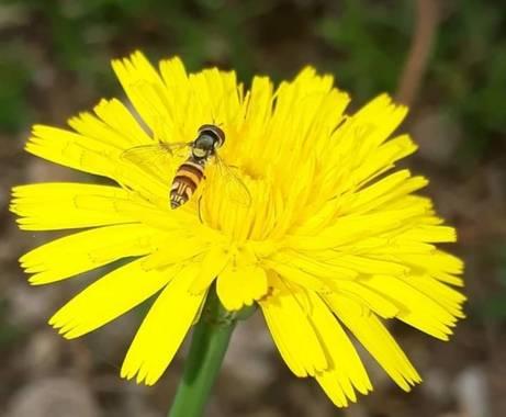 adrianpalacio166 en Hamelin: Flora, avispa en diente de leon