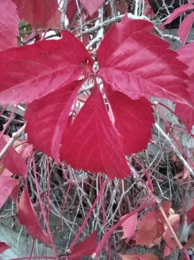 Lamaso2010 en Hamelin: Flora, Parthenocissus quinquefolia