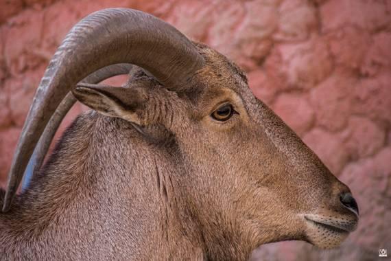 Acorazado3000 en Hamelin: Fauna  (Córdoba), Carnero de Berbería          #fotografiacarloscalvo #arrui #muflondelatlas #muflon #carnerodeberberia #fauna #b...