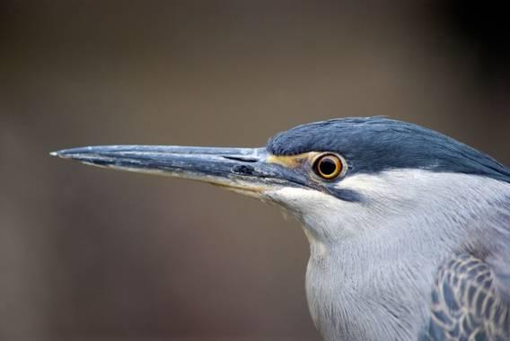 jomartinezfranco en Hamelin: Fauna  (Valencia), Butorides striata (Linnaeus, 1758), Garcita azulada o estriada. #aves #fauna #hamelin #garcita #garcitaazul...
