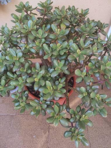 Nicolasromerohbg en Hamelin: Flora  (Daimiel), Crassula ovata