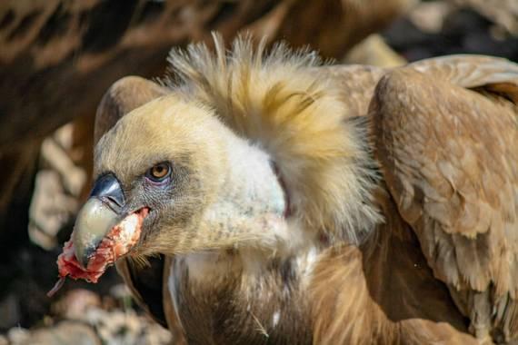 Nunivent en Hamelin: Fauna  (Fígols i Alinyà), Gyps fulvus (Hablizl, 1783), Actividad de comeiendo con vuitres en Alinyà, muy recomendable! #aves21