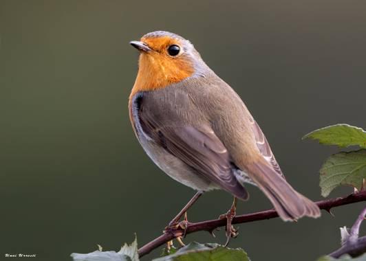 Unai Urresti en Hamelin: Fauna  (Bermeo), Erithacus rubecula (Linnaeus, 1758), Petirrojo.   #aves21 #petirrojo  #fauna