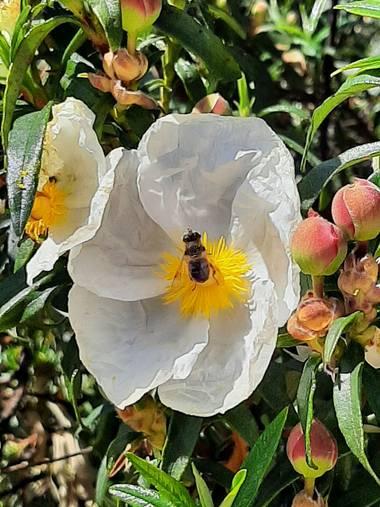 Duala7 en Hamelin: Flora  (Majadahonda), Cistus ladanifer