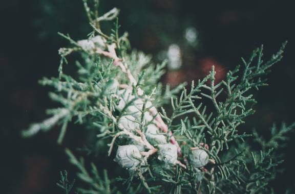 Tadeo_acin en Hamelin: Flora, Cupressus arizonica, Encontré un nuevo mundo en el pino de mi patio.