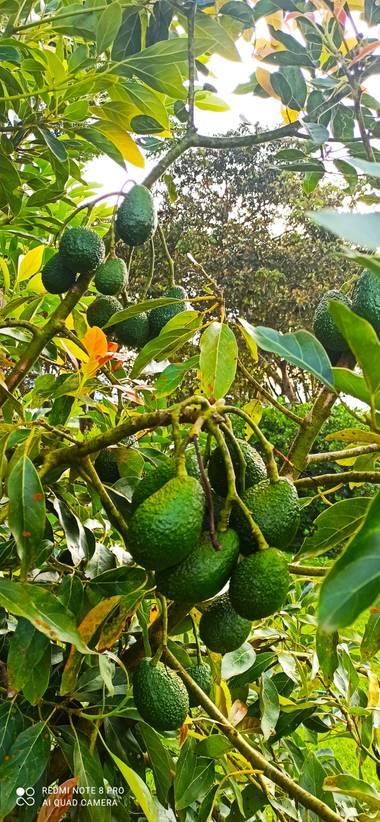 pastoressd en Hamelin: Flora  (Pitalito), Aguacate Has