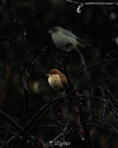 kuroulidantes en Hamelin: Fauna  (Tafí Viejo), Furnarius rufus, Hornero, así le dicen por su nido en forma de horno de barro. O por la costumbre de la gent...