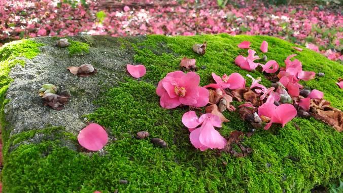 Corisca en Hamelin: Paisaje, Manto rosado