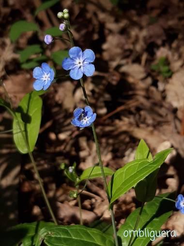 Mpinfante en Hamelin: Flora, Omphalodes verna, .