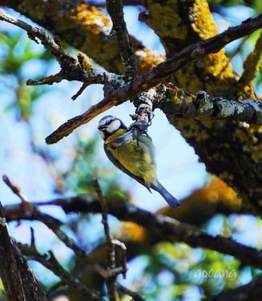 Lightscomeon en Hamelin: Fauna, Cyanistes caeruleus (Linnaeus, 1758), #pajaro #arbol #color #amarillo #azul #naturaleza