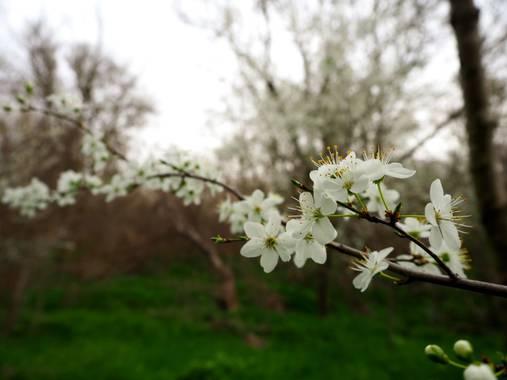 Julialozanoc en Hamelin: Flora  (Zaragoza), Prunus spinosa, Comienzan a verse árboles en flor🌼. Paseando por el Anillo Verde de Zaragoza.