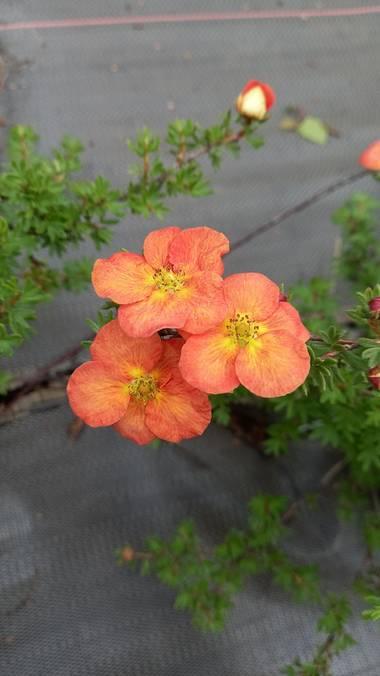 Corina en Hamelin: Flora  (Vitoria), #flornaranja