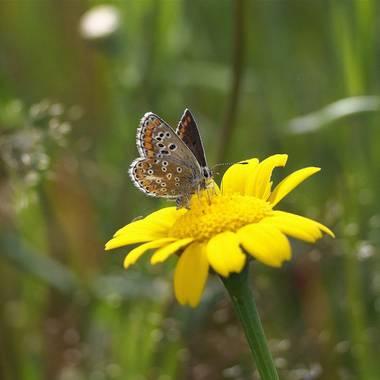 Gustavo Adolfo. en Hamelin: Fauna  (Buenaventura), Morena serrana. (Aricia agestis) es una mariposa muy común euroasiática. Puede alcanzar hasta 28 mm, es ...