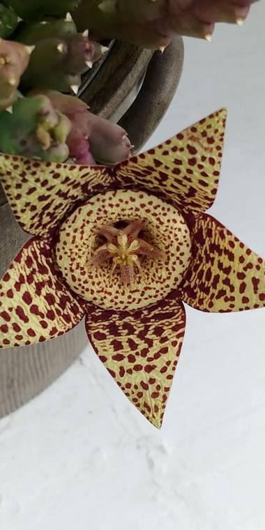 Raquelitacaceres1969 en Hamelin: Flora, Orbea variegata, De admirar su belleza🌼🌼❤️