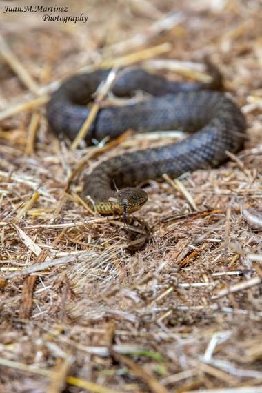 guachinaty1 en Hamelin: Fauna  (Santa Elena), La culebra viperina o culebra de agua es una especie de reptil escamoso de la familia Colubridae. Debe su no...