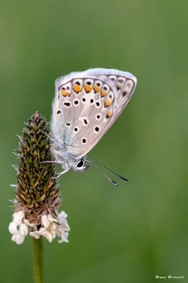 Unai Urresti en Hamelin: Fauna  (Bermeo), #mariposa #macro #polyommatusicarus