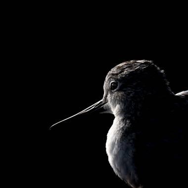 Aitor_gil en Hamelin: Fauna  (San Bartolomé), Tringa nebularia (Gunnerus, 1767), Archibebe Claro. Jugando con la #clavebaja #lowkey Es un ave marina, de as...