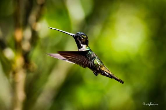 sinisterra2009 en Hamelin: Fauna  (Cali), El colibrí piquilargo, picudo gorgiestrella o picaflor estrella (Heliomaster longirostris) es una especie de ave...