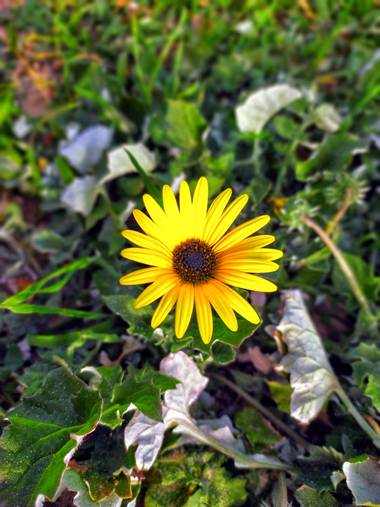 Sortueta en Hamelin: Flora  (Laredo), Y, entre las piedras, surge la Flor