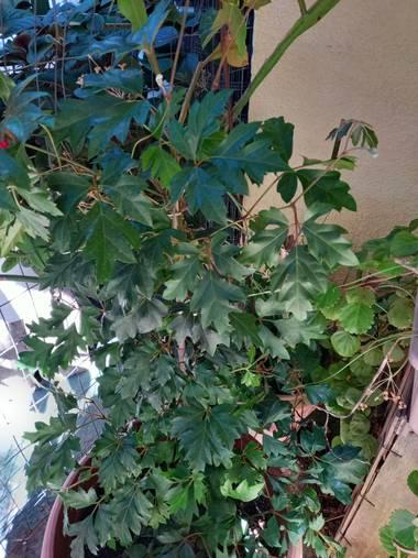 Evelu1881 en Hamelin: Flora, Cissus alata