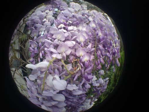 soniagallego71 en Hamelin: Flora, Wisteria sinensis, #naturephotography #nature #naturaleza#natura#flowers #flores #flors#fleurs #primavera #primavera2021...