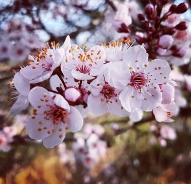Msanchezvasco en Hamelin: Flora  (Ulldecona), Prunus cerasifera, Es un ciruelo de jardin, su fruto es del tamaño de una cereza.Tanto el corlor como el  sab...