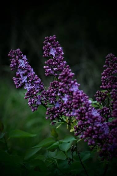 Belenhernandezg en Hamelin: Flora  (Madrid), Syringa vulgaris, #flora21