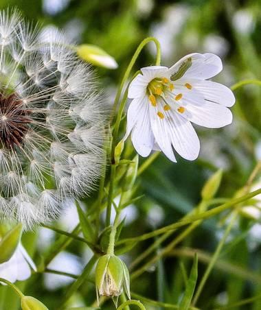 ARTURO  en Hamelin: Flora, #flora21