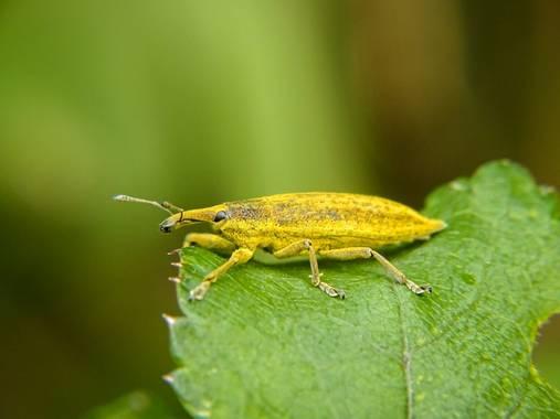Eritz.cortazar en Hamelin: Fauna  (Bilbao), Curculio del riubarbo🐜  A este tipo de insecto se les conoce como gorgojos y son una de las plagas mas destruc...