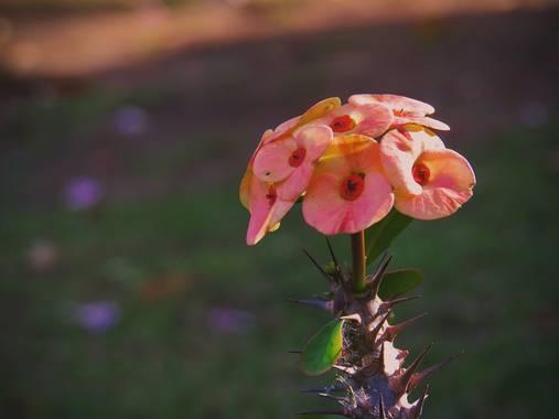 juanandrescardona01 en Hamelin: Flora  (El Retiro), Euphorbia milii, Euphorbia milii o Coronas de cristo son plantas florales que son nativas de Madagascar...