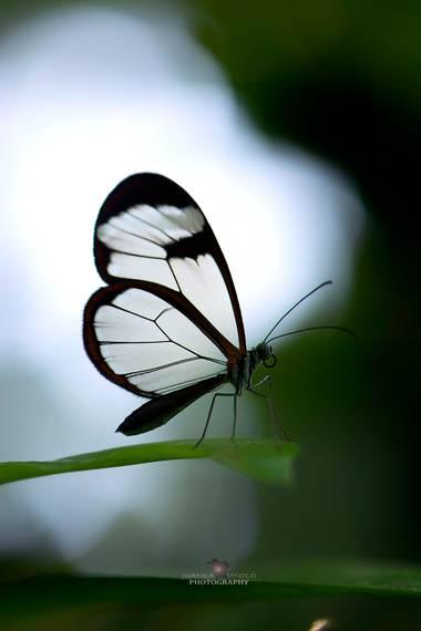 Juankafv en Hamelin: Fauna  (Querétaro), Greta oto Hewitson, 1854, Una pequeña mariposa con unas alas transparente que parecen de cristal de hay su nombre ...
