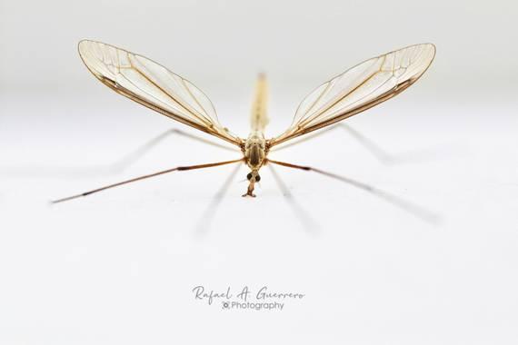 Rafael Alarcón Guerrero  en Hamelin: Fauna  (Madrid), ¡Qué interesante es el mundo macro!  El modelo, está vez, se portó bien. Su nombre 🔸(Holorusia Hespe...