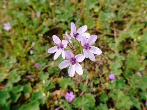 Mivilor68 en Hamelin: Flora  (Cubillos del Sil), Erodium cicutarium, #floresbonitas