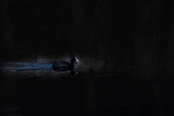 jd-jp en Hamelin: Fauna  (Rivas-Vaciamadrid), @fochacomun a primera hora de la mañana metida entre los tarajes el contraste de las sombras y su frente y pi...
