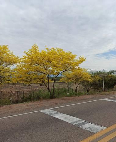 st_anger_888 en Hamelin: Flora  (Valledupar), Cañaguate