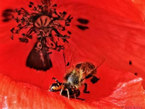 Mararuizasensio en Hamelin: Flora  (Marbella), La caza #ParquesyJardines #macro #amapola #araña #cazando #huaweiphotography #p30pro #red #rojo