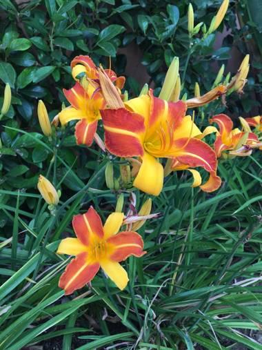 auricahk en Hamelin: Flora, Hemerocallis fulva, Costa del sol garden