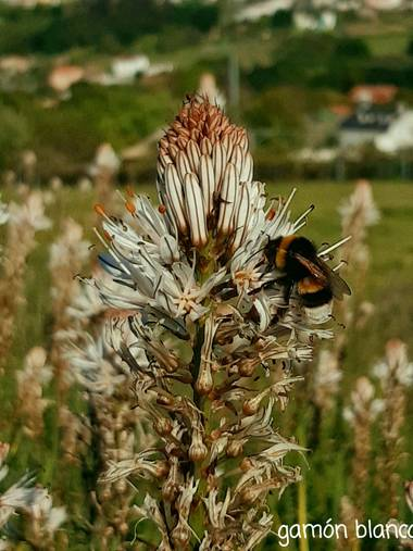 Mpinfante en Hamelin: Flora, Asphodelus albus, Hermoso abejorro alimentándose del gamoncillo.
