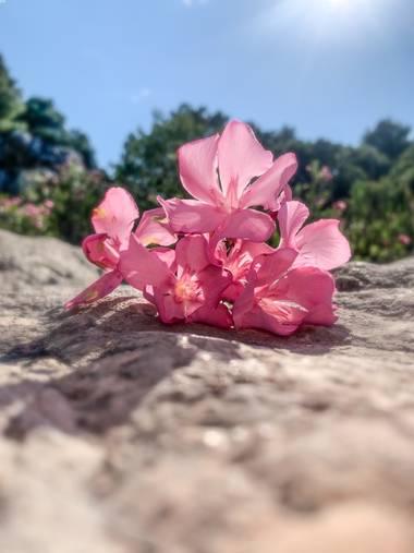 carogv1995 en Hamelin: Flora  (Mula), Nerium oleander, #valadre  #rosarosae