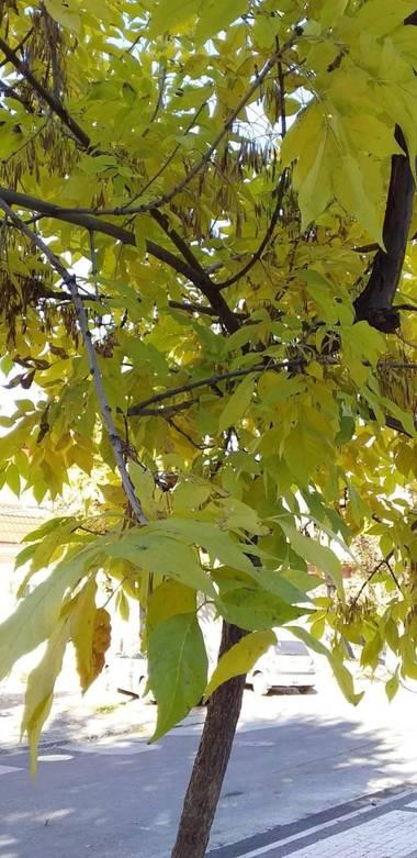 auricahk en Hamelin: Flora, A tree grows in moldova
