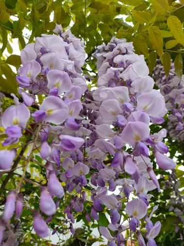 Jinliangarcia en Hamelin: Flora  (Benasque), Wisteria sinensis, #flor21  Excelente experiencia y excelente paisaje