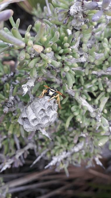 Solerantonio2 en Hamelin: Fauna  (Níjar), Avispa haciendo su nido en cabo de gata