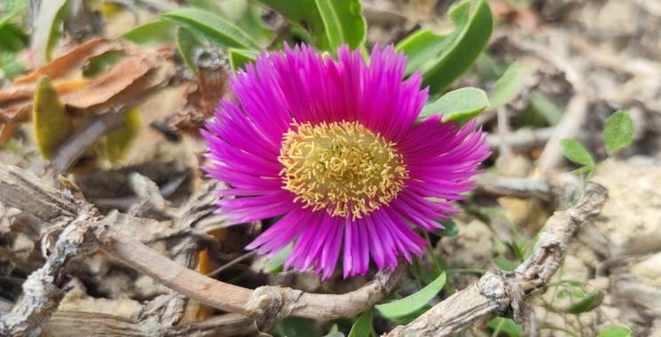 aidalzira en Hamelin: Flora  (Llíber), Carpobrotus edulis subsp. edulis, La uña de gato es una especie de plantas de la familia Aizoaceae. Su porte es rast...