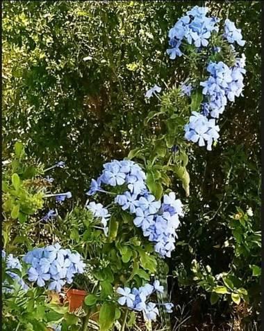 Navarroarevalomariateresa en Hamelin: Flora  (Viesca), Plumbago auriculata, Pequeñas y hermosas!